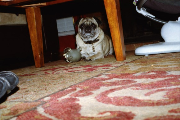 pug under a table with a toy